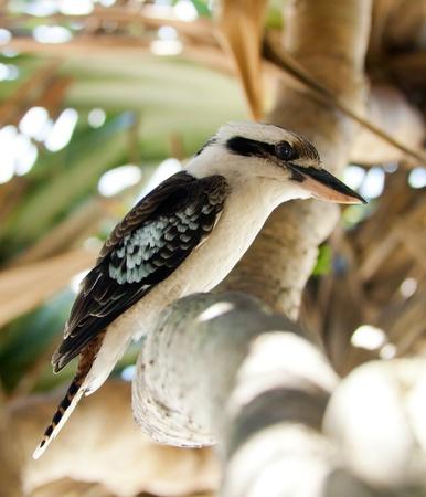 feathering: Australian Kookaburra bird, classic Australian icon
