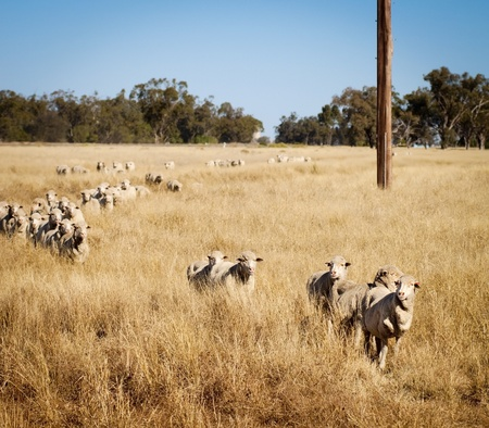 yellow fleece: Sheep roam the large paddocks in rural Australia Stock Photo