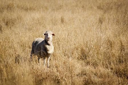 merino sheep: Sheep in long dry grass in rural Australia