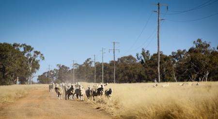 merino sheep: Sheep roam the large paddocks in rural Australia Stock Photo