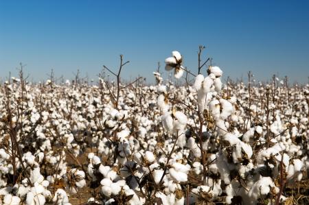 organic cotton: Campi di cotone bianco con cotone maturi pronti per la raccolta Archivio Fotografico