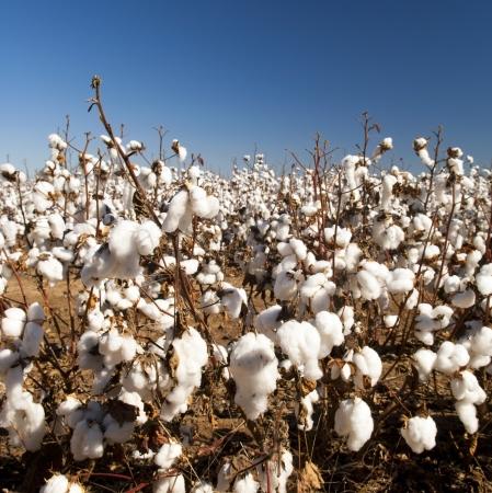 materia prima: De algod�n blancas de algod�n madura campos listos para la cosecha