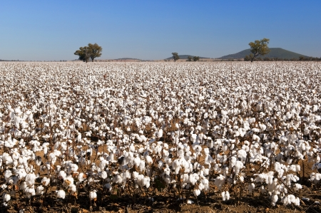 australia farm: Cotton fields white with ripe cotton ready for harvesting