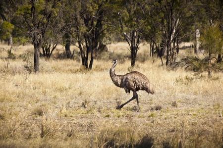 emu: Wild emu en el interior de Australia vagar libremente
