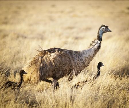 emu: Emu con chicas j�venes en el medio natural de interior de Australia Foto de archivo