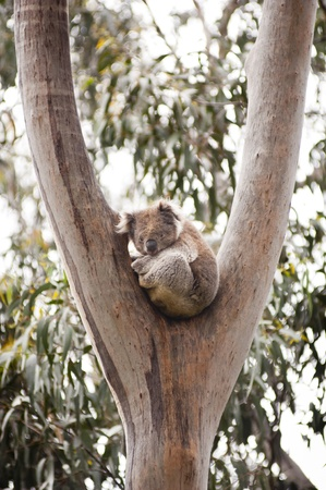 Koala bear in the wild in gum trees in Australia photo