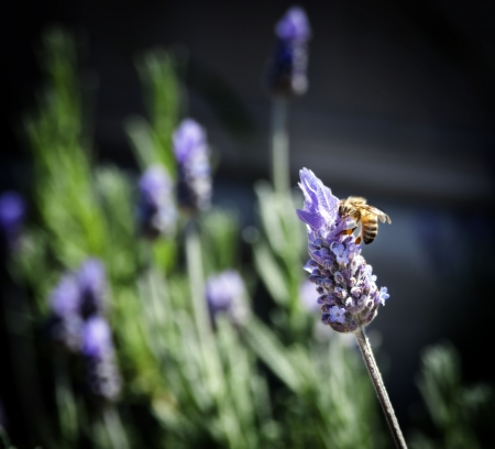 fragrant scents: Honey bee gathers pollen from lavender on a sunny day