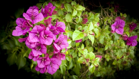 Bougainvillea flowers in bright purple and green photo