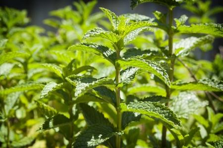 Fresh mint growing in a herb garden 写真素材
