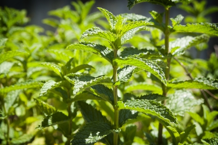 Fresh mint growing in a herb garden Stock Photo