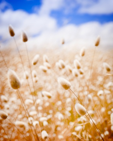 flower close up: Shallow focus of soft wild grasses against a blue sky in golden field
