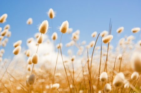 shallow depth of field: Shallow focus of soft wild grasses against a blue sky in golden field