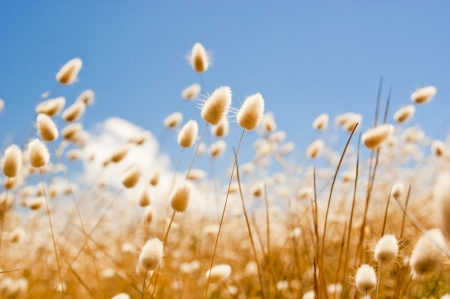 Shallow focus of soft wild grasses against a blue sky in golden field