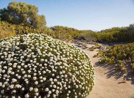 plantes et fleurs qui poussent dans les dunes de sable côtières