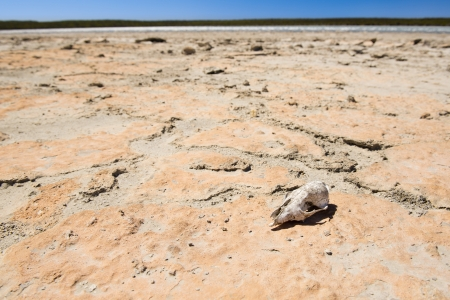 dead animal: Animal skull on cracked hot ground in desert with blue sky Stock Photo