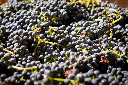 shiraz: Grapes from the Barossa Valley wine region Stock Photo