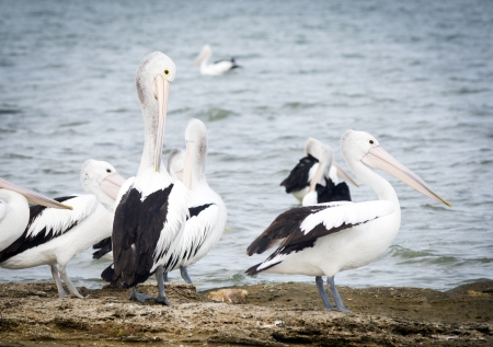 pelicans: Pelicans in the wild along the Coorong area of South Australia