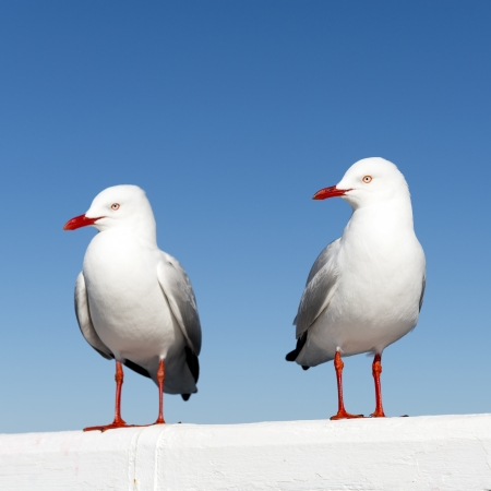 Two seagulls sitting on a white railing at the ocean photo
