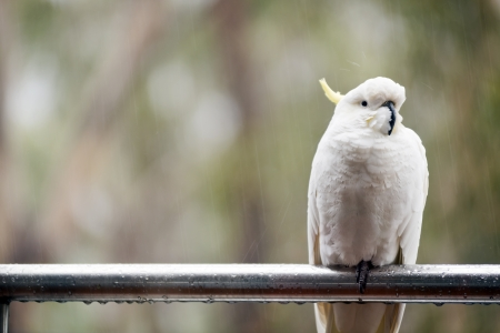 Australian Sulphur-crested cockatoo sitting in the rain photo