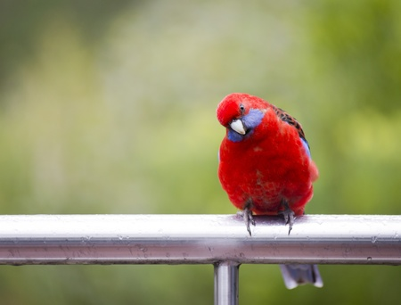 crimson: Australian native Rosella parrot in the wild in bright red and blue
