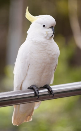 cockatoos: Sulphur crested cockatoo perched on a rail in the Grampians region of Australia