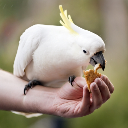 crested: Hand feeding a sulphur crested cockatoo in Australia