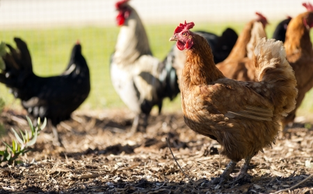 red hen: Free range chickens roam the yard on a small farm