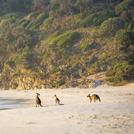 Australian native Kangaroo family gather on the beach at dawn on Stradbroke Island photo