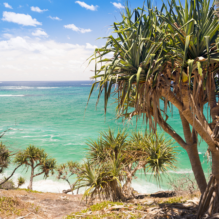 pandanus: Pandanus palm trees populate North Stradbroke Island, Australia Stock Photo