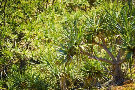 populate: Pandanus palm trees populate North Stradbroke Island, Australia Stock Photo