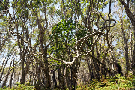 Large twisted vines join together in the thick forest photo