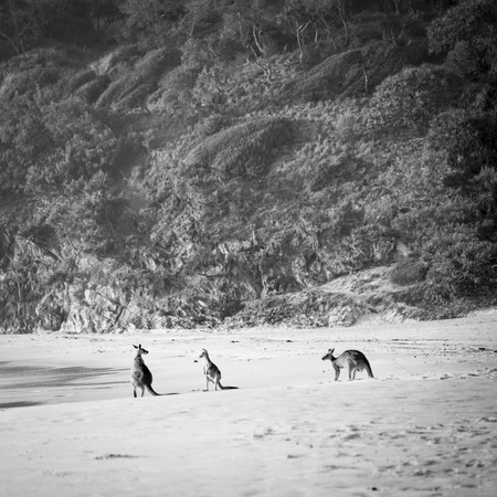 Australian native Kangaroo family gather on the beach at dawn on Stradbroke Island in stunning black and white Stock Photo