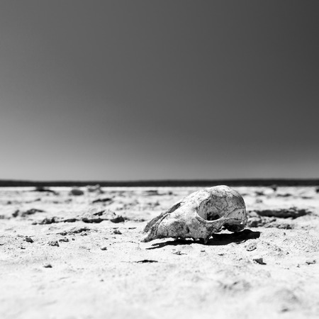 dead animal: Animal skull on cracked hot ground in desert with blue sky in stunning black and white