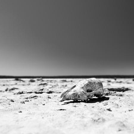 animal skull: Animal skull on cracked hot ground in desert with blue sky in stunning black and white