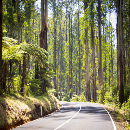 ranges: Towering trees and tree ferns in the forest along the Black Spur in the Yarra Valley, Victoria, Australia