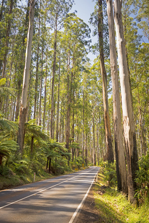 downunder: Towering trees and tree ferns in the forest along the Black Spur in the Yarra Valley, Victoria, Australia