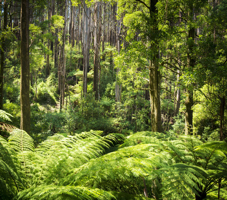 ranges: Lush green ferns, tree ferns and towering mountain ash along the Black Spur, Victoria, Australia Stock Photo