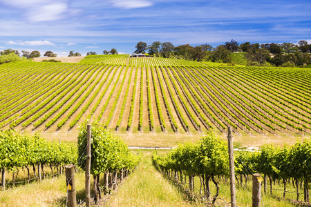 Vineyard with rows of grapes growing under a blue sky