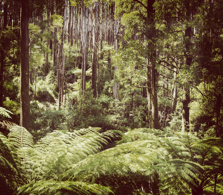downunder: Lush green ferns, tree ferns and towering mountain ash along the Black Spur, Victoria, Australia filtered Stock Photo