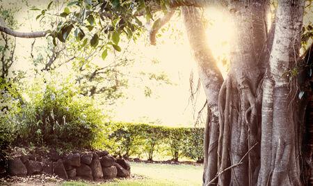 feigenbaum: Alte Feigenbaum mit einem Retro-Filter, mit einer Lichtleck gebleicht Lizenzfreie Bilder