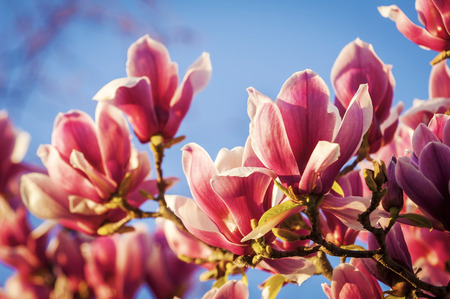 Rich red magnolia flowers against a deep blue sky photo
