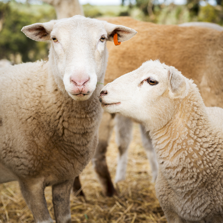 Sheep and lambs in a paddock in Australia photo