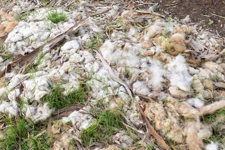 merino sheep: Wool from Australian lambs left on the ground on a farm
