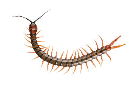 Giant centipede, Ethmostigmus rubripes, walking isolated on a white background photo