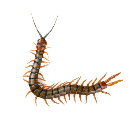 Giant centipede, Ethmostigmus rubripes, walking isolated on a white background photo