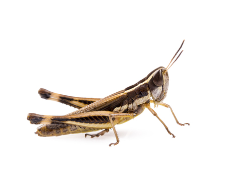 Grasshopper insect isolated on a white background photo