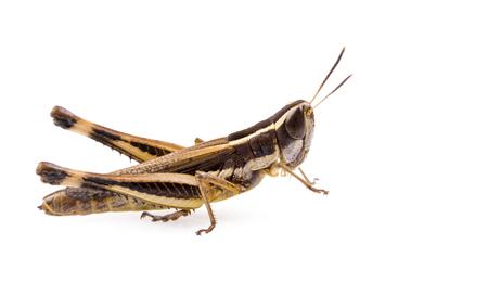 langosta: Insectos saltamontes aislado en un fondo blanco