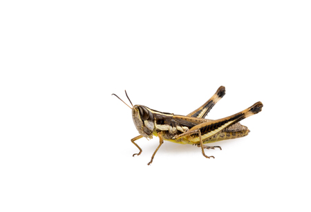 locust: Grasshopper insect isolated on a white background Stock Photo