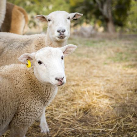 merino sheep: Sheep and lambs in a paddock in Australia Stock Photo