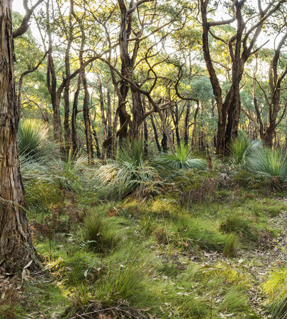 Australian landscape of the forest in South Australia photo